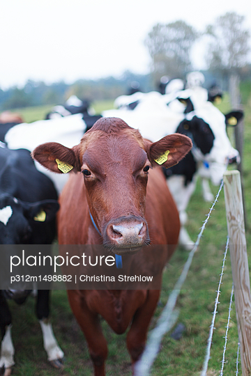 cows - p312m1498882 by Christina Strehlow