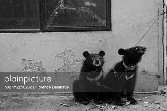 Deux ours du cirque de Hanoï, attachés. - p927m2216232 by Florence Delahaye