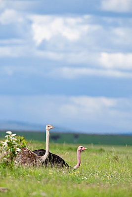 Ostrich couple - p533m1120348 by Böhm Monika