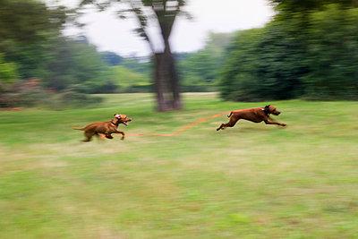 Zwei spielende Hunde - p739m1040965 von Baertels