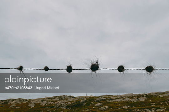 Shep hair on a barbed wire - p470m2108843 by Ingrid Michel