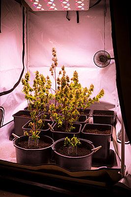 Cannabis - p1149m2182437 by Yvonne Röder