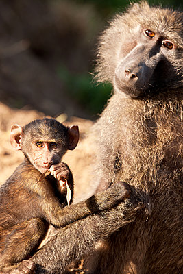 Baboon with young - p533m1451912 by Böhm Monika