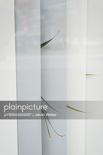 Fenster-Pflanze - p1505m2020037 von Jakob Weber