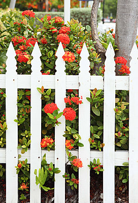 Red blossoms behind a fence - p045m823416 by Jasmin Sander