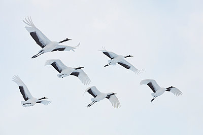 Red-Crowned Cranes, Grus japonensis, mid-air in winter. - p1100m1520113 by Mint Images