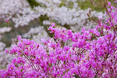 Cherry blossoms - p307m826840f by Tadao Yamamoto