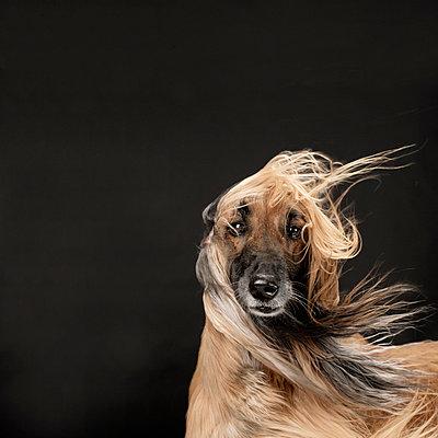 Hundeportrait - p4030174 von Helge Sauber