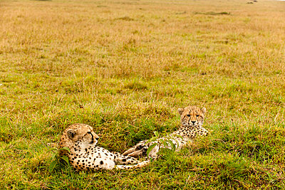 Cheetahs in Kenya - p5330368 by Böhm Monika