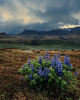 Iceland, Lupines - p1549m2158032 by Sam Green