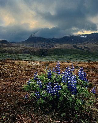 Island, Lupinen  - p1549m2158032 von Sam Green