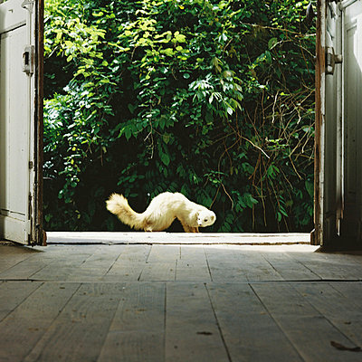 Ermine in front of an entry door - p567m720727 by Sandrine Agosti Navarri