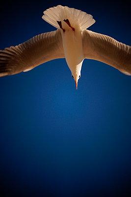 Möwe und blauer Himmel - p038m1042574 von Ute Hornauf