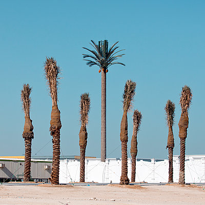 Palm shaped communications tower and palm trees in foreground, Qatar - p1542m2142357 by Roger Grasas
