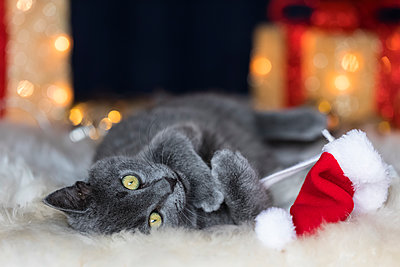 Chartreux kitten playing with Christmas cap - p300m1567989 by Fotofeeling