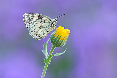 Marbled White, Melanargia galathea sitting on yellow flower - p300m2081181 by Martin Rügner
