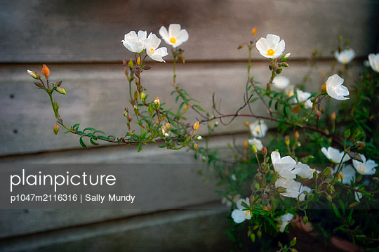 Rock rose plant with white flowers by wooden garden shed - p1047m2116316 by Sally Mundy