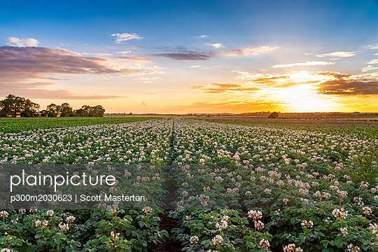 United KIngdom, East Lothian, flowering potato field, Solanum tuberosum, at sunset - p300m2030623 by Scott Masterton