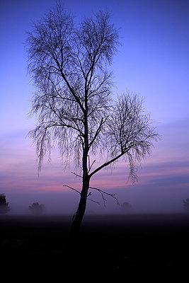 Birch tree against red sky - p179m1475167 by Roland Schneider