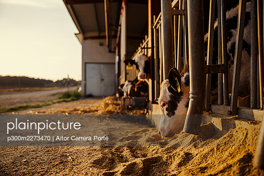 Calves being fed in barn - p300m2273470 by Aitor Carrera Porté