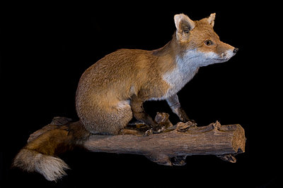 Padded red fox in studio - p8520018 by Astrid Schulz