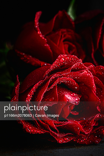 Red roses for Valentine's Day - p1166m2078063 by Cavan Images