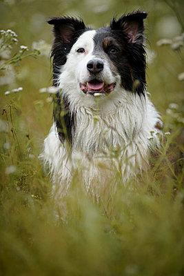 Australian Shepherd im nassen Gras - p1273m1198490 von Melanka Helms
