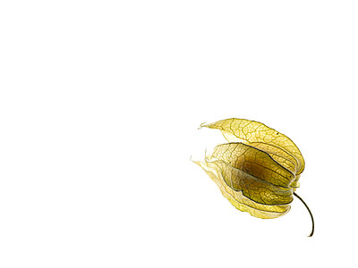 Physalis - p401m1182081 by Frank Baquet