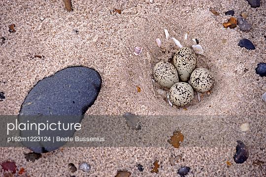 Vogeleier im Sandstrand - p162m1223124 von Beate Bussenius