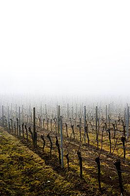 Kahle Weinreben im Nebel - p248m715350 von BY