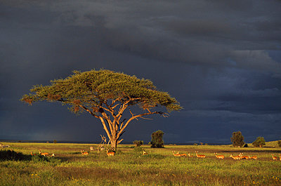 Acacia tree and impala (Aepyceros melampus)under a stormy sky - p44210228f by Design Pics