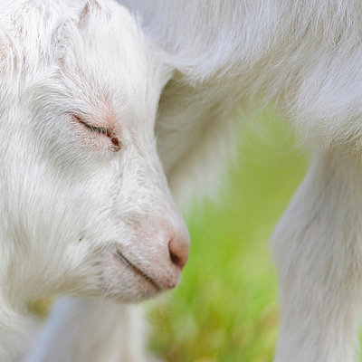 Baby goat - p575m714954 by Mikael Svensson