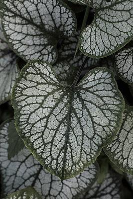 Brunnera macrophylla 'Jack Frost', - p1470m1539163 by julie davenport