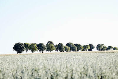 Baumreihe mit Haferacker - p719m1444462 von Rudi Sebastian