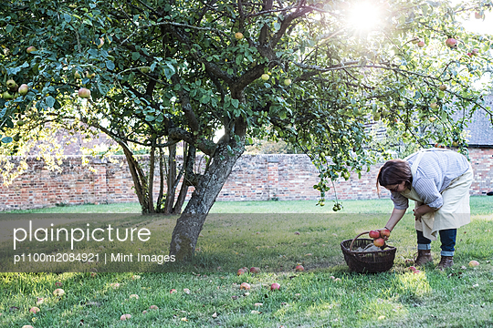 Woman wearing apron holding brown wicker basket, picking up windfall apples from the ground. - p1100m2084921 by Mint Images