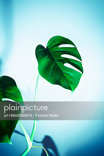 Monstera deliciosa, Philodendron - p1149m2093474 by Yvonne Röder