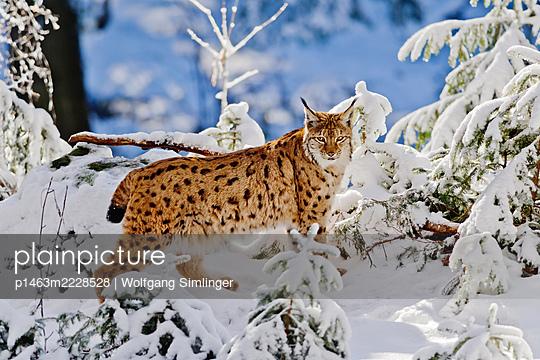 Luchs im Winter - p1463m2228528 von Wolfgang Simlinger