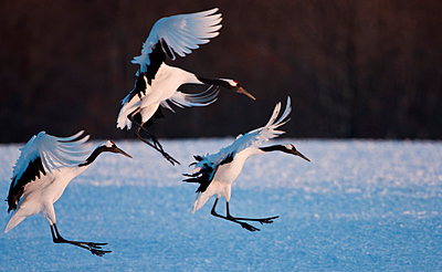 Japanese cranes - p1100m887852f by Art Wolfe