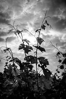 Black & White Vine - p1402m1461589 by Jerome Paressant