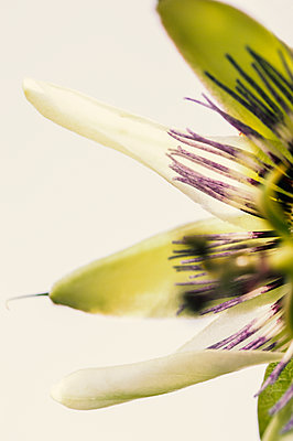Close-up of passion flower against a white background - p1047m1094337 by Sally Mundy