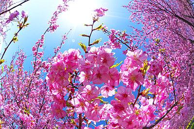 Kawazu cherry blossoms, Japan - p307m1535057 by Tetsuo Wada