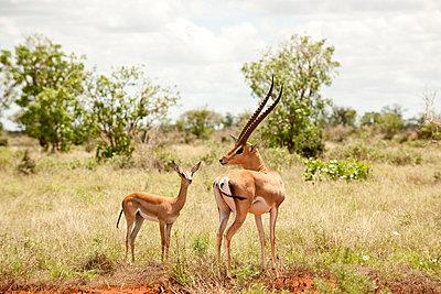 National park in Kenia - p5330291 by Böhm Monika