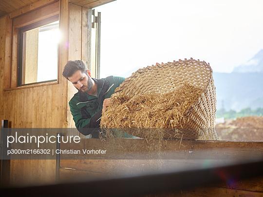 Imagebilder (mit Release) Landwirt, Bauer, Stallarbeiter leert Stroh von Holzkorb in den Stall, Vomp, Tirol, Europa - p300m2166302 von Christian Vorhofer