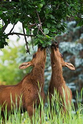 Twin moose calves feed on high leaves in a tree in Anchorage, Alaska in Summer. Southcentral Alaska. - p442m1180897 by Design Pics