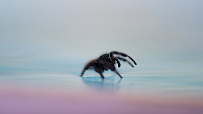 Spider walking on surface of water - p624m1045722f by Odilon Dimier