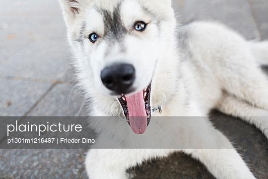 Huskywelpe auf der Straße - p1301m1216497 von Delia Baum