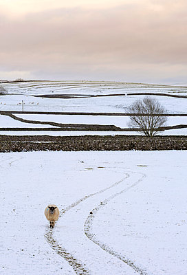 England, NorthYorkshire, Settle.  Sheep walking on tyre tracks in the Yorkshire Dales, near Settle. - p651m2152393 by Robert Birkby
