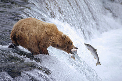 Grizzly Bear adolescent catching salmon above Brooks Falls - p8844442 by Matthias Breiter