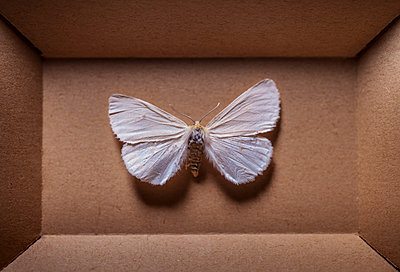 Moth in box - p971m1196160 by Reilika Landen