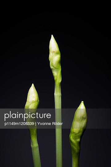Daffodils - p1149m1208339 by Yvonne Röder